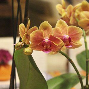 Orquidea-laranja