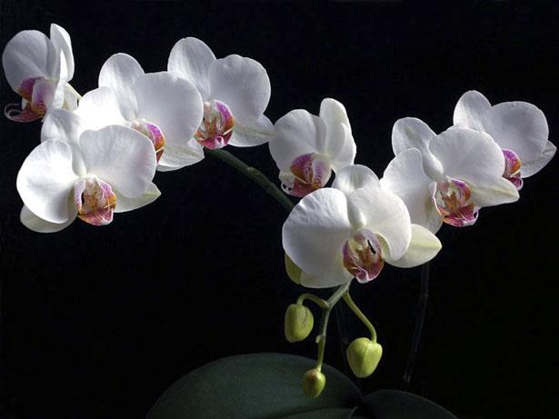 phalaenopsis_semialba_06