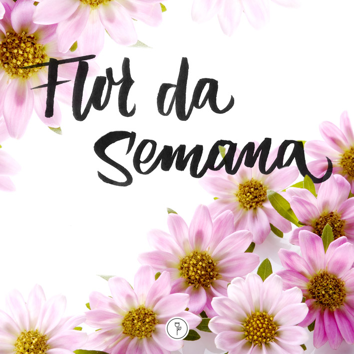 flor Crisântemo-Margarida