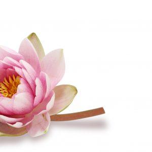 Detalhes da flor da semana: Ninfeia por Vamos Receber e Sergio Oyama Junior