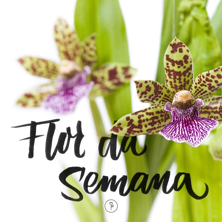 orquídea Zygopetalum