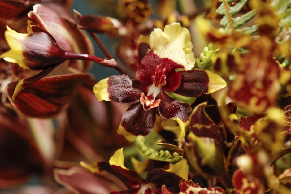 orquídeas em tons de vinho