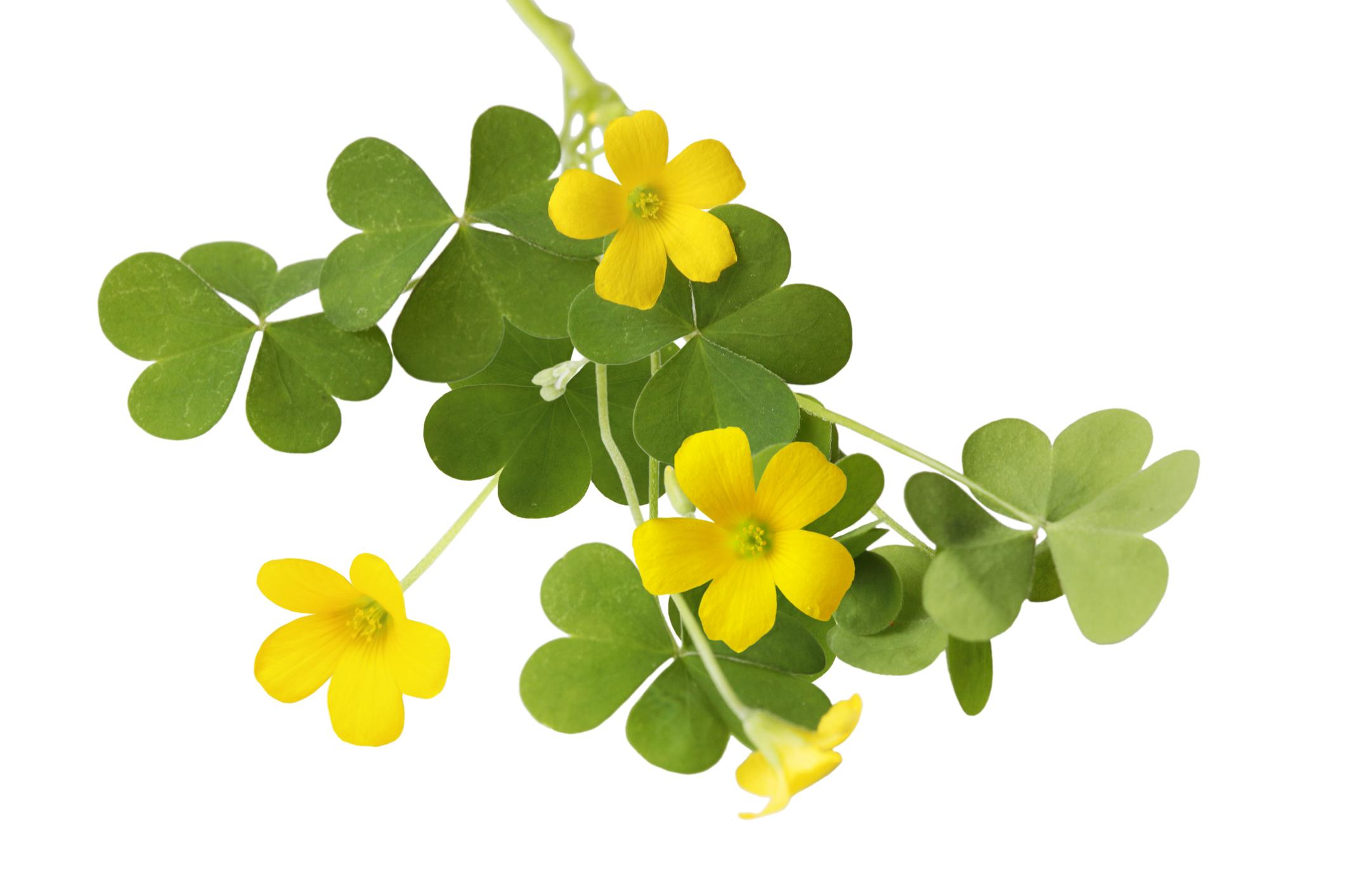 Planta azedinha e seus benefícios para saúde