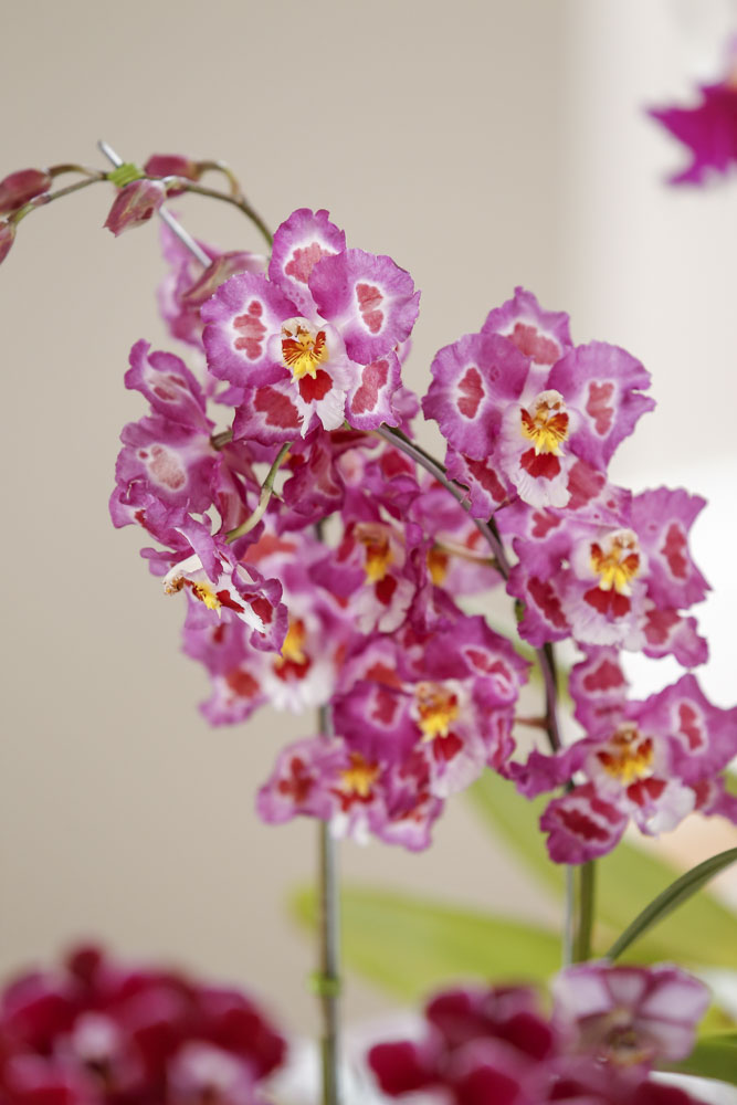 orquideas em tons de rosa
